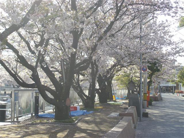 horikawa-sakura-12_R.jpg
